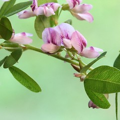 Flowers: Lespedeza violacea. ~ By Arieh Tal. ~ Copyright © 2021 Arieh Tal. ~ http://botphoto.com/ ~ Arieh Tal - botphoto.com