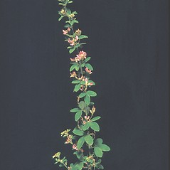 Plant form: Lespedeza violacea. ~ By George Lienau. ~ Copyright © 2019 New England Wild Flower Society. ~ Image Request, images[at]newenglandwild.org