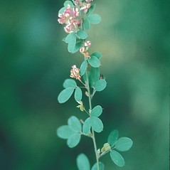 Leaves: Lespedeza violacea. ~ By Lawrence Newcomb. ~ Copyright © 2019 New England Wild Flower Society. ~ Image Request, images[at]newenglandwild.org