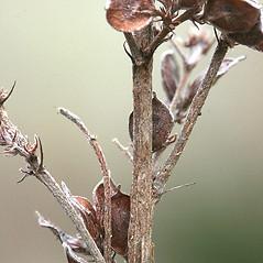 Stems: Lespedeza violacea. ~ By Arieh Tal. ~ Copyright © 2021 Arieh Tal. ~ http://botphoto.com/ ~ Arieh Tal - botphoto.com