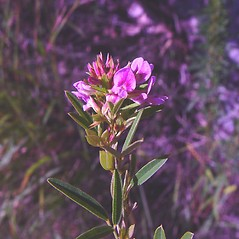 Flowers: Lespedeza virginica. ~ By Arthur Haines. ~ Copyright © 2021. ~ arthurhaines[at]wildblue.net
