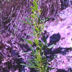 Plant form: Lespedeza virginica. ~ By Arthur Haines. ~ Copyright © 2021. ~ arthurhaines[at]wildblue.net