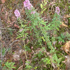 Plant form: Lespedeza virginica. ~ By Bruce Patterson. ~ Copyright © 2021 Bruce Patterson. ~ foxpatterson[at]comcast.net