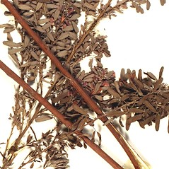 Stems: Lespedeza virginica. ~ By Florida State University Godfrey Herbarium. ~ Copyright © 2021 CC BY-NC-SA 3.0. ~  ~ Morphbank - Biological Imaging - www.morphbank.net