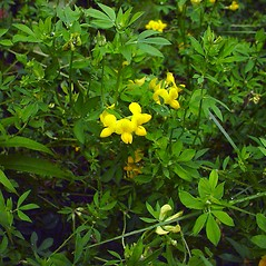 Plant form: Lotus corniculatus. ~ By Glen Mittelhauser. ~ Copyright © 2020 Glen Mittelhauser. ~ www.mainenaturalhistory.org