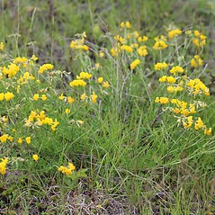 Plant form: Lotus corniculatus. ~ By Mareike Conrad. ~ Copyright © 2020 Mareike Conrad. ~ mareike.conrad[at]googlemail.com