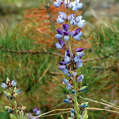 Flowers: Lupinus perennis. ~ By Ben Kimball. ~ Copyright © 2020 Ben Kimball. ~ alpinefin[at]comcast.net