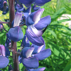 Flowers: Lupinus polyphyllus. ~ By Marilee Lovit. ~ Copyright © 2020 Marilee Lovit. ~ lovitm[at]gmail.com