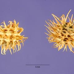 Fruits: Medicago laciniata. ~ By Tracey Slotta. ~  Public Domain. ~  ~ USDA-NRCS Plants Database - plants.usda.gov/java/