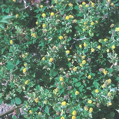 Plant form: Medicago lupulina. ~ By Samuel Hoar. ~ Copyright © 2021 New England Wild Flower Society. ~ Image Request, images[at]newenglandwild.org