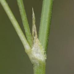 Stems: Melilotus indicus. ~ By John Gwaltney. ~ Copyright © 2020 John Gwaltney. ~ southeasternflora.com ~ Southeastern Flora - www.southeasternflora.com/