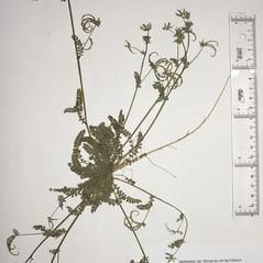 Plant form: Ornithopus sativus. ~  ~ Copyright © 2020. ~