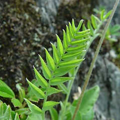 Leaves: Oxytropis campestris. ~ By Arthur Haines. ~ Copyright © 2021. ~ arthurhaines[at]wildblue.net