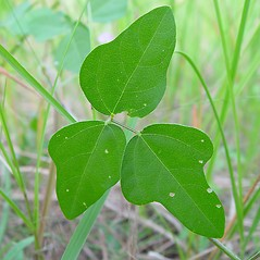 Leaves: Phaseolus polystachios. ~ By Arthur Haines. ~ Copyright © 2020. ~ arthurhaines[at]wildblue.net