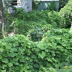 Plant form: Pueraria montana. ~ By Arieh Tal. ~ Copyright © 2021 Arieh Tal. ~ http://botphoto.com/ ~ Arieh Tal - botphoto.com