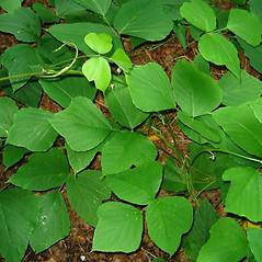 Leaves: Pueraria montana. ~ By Alexey Zinovjev. ~ Copyright © 2020. ~ webmaster[at]salicicola.com ~ Salicicola - www.salicicola.com/