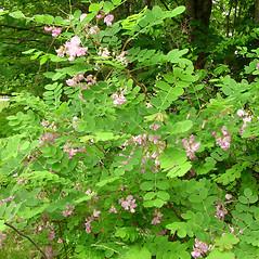 Plant form: Robinia hispida. ~ By Glen Mittelhauser. ~ Copyright © 2020 Glen Mittelhauser. ~ www.mainenaturalhistory.org