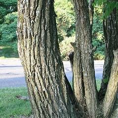 Bark: Robinia pseudoacacia. ~ By Arieh Tal. ~ Copyright © 2020 Arieh Tal. ~ http://botphoto.com/ ~ Arieh Tal - botphoto.com