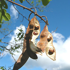 Fruits: Robinia pseudoacacia. ~ By Donna Kausen. ~ Copyright © 2020 Donna Kausen. ~ 33 Bears Den, Addison, ME 04606