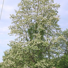 Plant form: Robinia pseudoacacia. ~ By Arieh Tal. ~ Copyright © 2020 Arieh Tal. ~ http://botphoto.com/ ~ Arieh Tal - botphoto.com