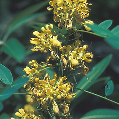 Flowers: Senna hebecarpa. ~ By John Lynch. ~ Copyright © 2020 New England Wild Flower Society. ~ Image Request, images[at]newenglandwild.org