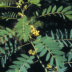 Plant form: Senna hebecarpa. ~ By Lawrence Newcomb. ~ Copyright © 2019 New England Wild Flower Society. ~ Image Request, images[at]newenglandwild.org