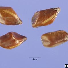 Fruits: Senna obtusifolia. ~ By Steve Hurst. ~  Public Domain. ~  ~ USDA-NRCS Plants Database - plants.usda.gov/java/