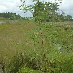 Plant form: Sesbania herbacea. ~ By Karan Rawlins. ~ Copyright © 2021 CC BY-NC 3.0. ~  ~ Bugwood - www.bugwood.org/