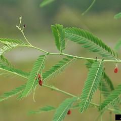 Leaves: Sesbania herbacea. ~ By Karan Rawlins. ~ Copyright © 2021 CC BY-NC 3.0. ~  ~ Bugwood - www.bugwood.org/