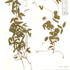 Plant form: Strophostyles leiosperma. ~ By The Herbarium of The Morton Arboretum (MOR). ~ Copyright © 2021 The Morton Arboretum. ~ Ed Hedborn, The Morton Arboretum ~ The Herbarium of The Morton Arboretum