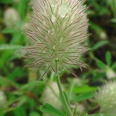 Flowers: Trifolium arvense. ~ By Glen Mittelhauser. ~ Copyright © 2020 Glen Mittelhauser. ~ www.mainenaturalhistory.org