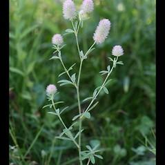 Plant form: Trifolium arvense. ~ By Arieh Tal. ~ Copyright © 2020 Arieh Tal. ~ http://botphoto.com/ ~ Arieh Tal - botphoto.com