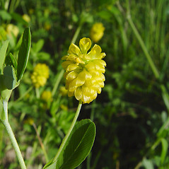Flowers: Trifolium aureum. ~ By Donald Cameron. ~ Copyright © 2021 Donald Cameron. ~ No permission needed for non-commercial uses, with proper credit