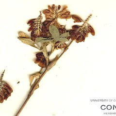 Fruits: Trifolium aureum. ~ By CONN Herbarium. ~ Copyright © 2020 CONN Herbarium. ~ Requests for image use not currently accepted by copyright holder ~ U. of Connecticut Herbarium - bgbaseserver.eeb.uconn.edu/