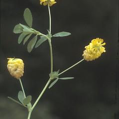 Leaves: Trifolium aureum. ~ By Albert Bussewitz. ~ Copyright © 2021 New England Wild Flower Society. ~ Image Request, images[at]newenglandwild.org