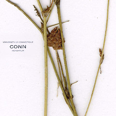 Stems: Trifolium campestre. ~ By CONN Herbarium. ~ Copyright © 2021 CONN Herbarium. ~ Requests for image use not currently accepted by copyright holder ~ U. of Connecticut Herbarium - bgbaseserver.eeb.uconn.edu/