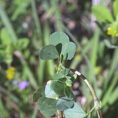 Leaves: Trifolium dubium. ~ By Steven Baskauf. ~ Copyright © 2021 CC-BY-NC-SA. ~  ~ Bioimages - www.cas.vanderbilt.edu/bioimages/frame.htm