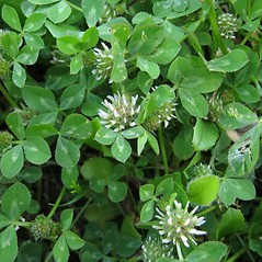 Plant form: Trifolium glomeratum. ~ By Luigi Rignanese. ~ Copyright © 2021 Luigi Rignanese. ~ Requests for image use not currently accepted by copyright holder ~ Acta Plantarum -  www.actaplantarum.org