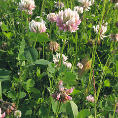 Plant form: Trifolium hybridum. ~ By Marilee Lovit. ~ Copyright © 2021 Marilee Lovit. ~ lovitm[at]gmail.com