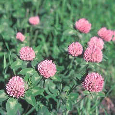 Flowers: Trifolium pratense. ~ By Lorna Slocombe. ~ Copyright © 2021 New England Wild Flower Society. ~ Image Request, images[at]newenglandwild.org