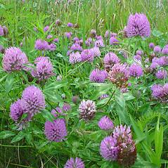 Plant form: Trifolium pratense. ~ By Glen Mittelhauser. ~ Copyright © 2020 Glen Mittelhauser. ~ www.mainenaturalhistory.org
