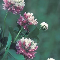 Flowers: Trifolium repens. ~ By Albert Bussewitz. ~ Copyright © 2021 New England Wild Flower Society. ~ Image Request, images[at]newenglandwild.org