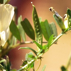 Fruits: Vicia grandiflora. ~ By James Miller. ~ Copyright © 2021 CC BY-NC 3.0. ~  ~ Bugwood - www.bugwood.org/