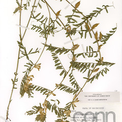 Plant form: Vicia pannonica. ~ By CONN Herbarium. ~ Copyright © 2020 CONN Herbarium. ~ Requests for image use not currently accepted by copyright holder ~ U. of Connecticut Herbarium - bgbaseserver.eeb.uconn.edu/