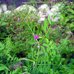 Plant form: Vicia sativa. ~ By Arthur Haines. ~ Copyright © 2020. ~ arthurhaines[at]wildblue.net