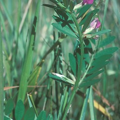 Plant form: Vicia sativa. ~ By Jean Baxter. ~ Copyright © 2020 New England Wild Flower Society. ~ Image Request, images[at]newenglandwild.org