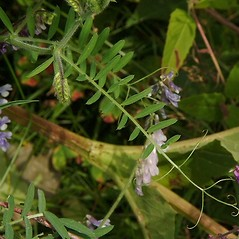 Leaves: Vicia villosa. ~ By Paul S. Drobot. ~ Copyright © 2021 Paul S. Drobot. ~ www.plantstogrow.com, www.plantstockphotos.com ~ Robert W. Freckmann Herbarium, U. of Wisconsin-Stevens Point