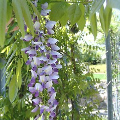 Flowers: Wisteria floribunda. ~ By Arnold Arboretum. ~ Copyright © 2021 Arnold Arboretum. ~ Arnold Arboretum Horticultural Library, hortlib[at]arnarb.harvard.edu