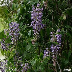 Flowers: Wisteria floribunda. ~ By Will Cook. ~ Copyright © 2021 Will Cook. ~ cwcook[at]duke.edu, carolinanature.com ~ North Carolina Plant Photos - www.carolinanature.com/plants/