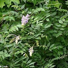Plant form: Wisteria floribunda. ~ By Will Cook. ~ Copyright © 2020 Will Cook. ~ cwcook[at]duke.edu, carolinanature.com ~ North Carolina Plant Photos - www.carolinanature.com/plants/